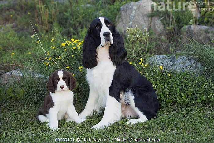 English Springer Spaniel (Canis familiaris) parent with puppy, North America  ,  Adult, Baby, Black And White, Canis familiaris, Color Image, Day, Domestic Dog, English Springer Spaniel, Front View, Full Length, Horizontal, Looking at Camera, Nobody, North America, Outdoors, Parent, Photography, Puppy, Side View, Two Animals,English Springer Spaniel,North America  ,  Mark Raycroft