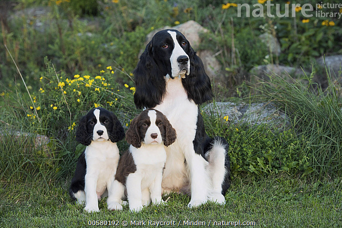 English Springer Spaniel (Canis familiaris) parent with puppies, North America, Adult, Baby, Black And White, Canis familiaris, Color Image, Day, Domestic Dog, English Springer Spaniel, Front View, Full Length, Horizontal, Looking at Camera, Nobody, North America, Outdoors, Parent, Photography, Puppy, Three Animals,English Springer Spaniel,North America, Mark Raycroft