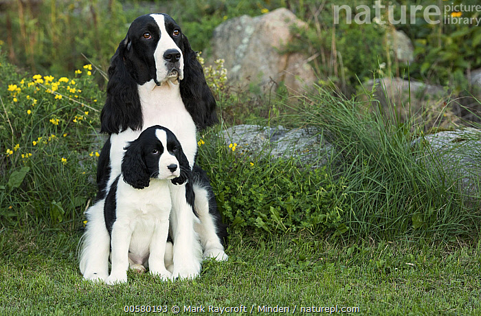 English Springer Spaniel (Canis familiaris) parent with puppy, North America  ,  Adult, Baby, Black And White, Canis familiaris, Color Image, Day, Domestic Dog, English Springer Spaniel, Front View, Full Length, Horizontal, Nobody, North America, Outdoors, Parent, Photography, Puppy, Two Animals,English Springer Spaniel,North America  ,  Mark Raycroft