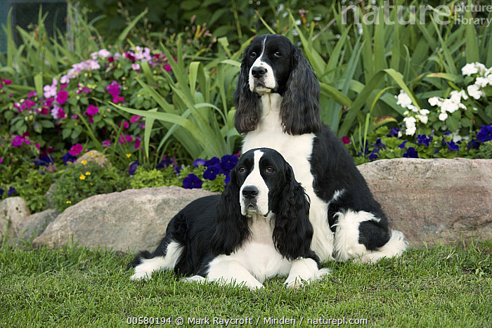English Springer Spaniel (Canis familiaris) pair, North America  ,  Adult, Black And White, Canis familiaris, Color Image, Day, Domestic Dog, English Springer Spaniel, Front View, Full Length, Horizontal, Nobody, North America, Outdoors, Photography, Side View, Two Animals,English Springer Spaniel,North America  ,  Mark Raycroft