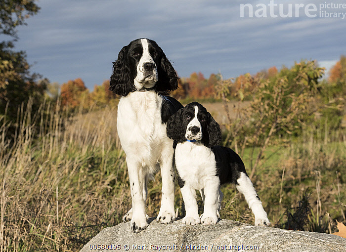 English Springer Spaniel (Canis familiaris) parent with puppy, North America  ,  Adult, Baby, Black And White, Canis familiaris, Color Image, Day, Domestic Dog, English Springer Spaniel, Front View, Full Length, Horizontal, Looking at Camera, Nobody, North America, Outdoors, Parent, Photography, Puppy, Two Animals,English Springer Spaniel,North America  ,  Mark Raycroft