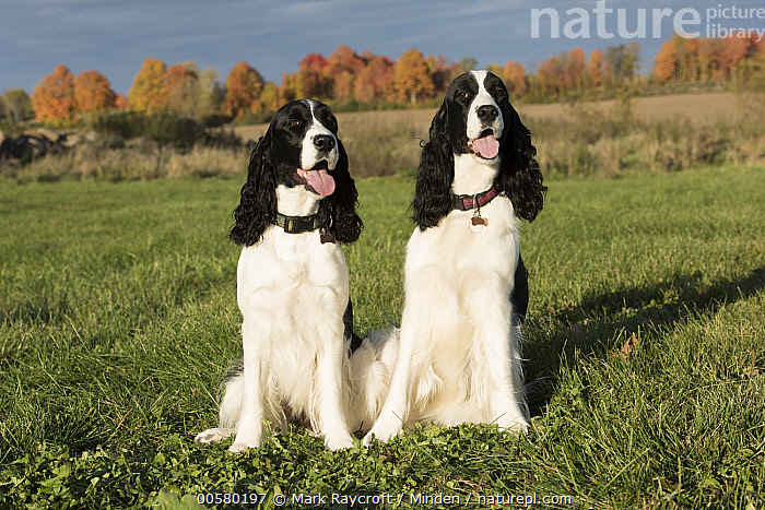 English Springer Spaniel (Canis familiaris) pair, North America  ,  Adult, Black And White, Canis familiaris, Color Image, Day, Domestic Dog, English Springer Spaniel, Front View, Full Length, Horizontal, Nobody, North America, Outdoors, Photography, Two Animals,English Springer Spaniel,North America  ,  Mark Raycroft