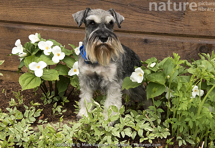 Miniature Schnauzer (Canis familiaris), North America, Adult, Canis familiaris, Color Image, Day, Domestic Dog, Front View, Full Length, Horizontal, Miniature Schnauzer, Nobody, North America, One Animal, Outdoors, Photography,Miniature Schnauzer,North America, Mark Raycroft