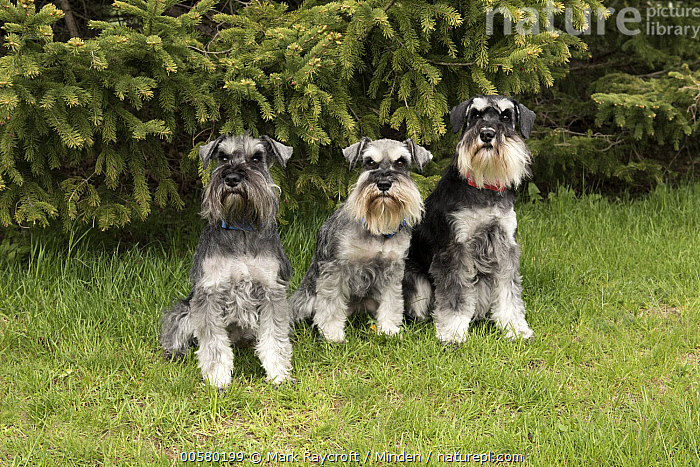 Miniature Schnauzer (Canis familiaris) trio, North America  ,  Adult, Canis familiaris, Color Image, Day, Domestic Dog, Front View, Full Length, Horizontal, Looking at Camera, Miniature Schnauzer, Nobody, North America, Outdoors, Photography, Three Animals,Miniature Schnauzer,North America  ,  Mark Raycroft