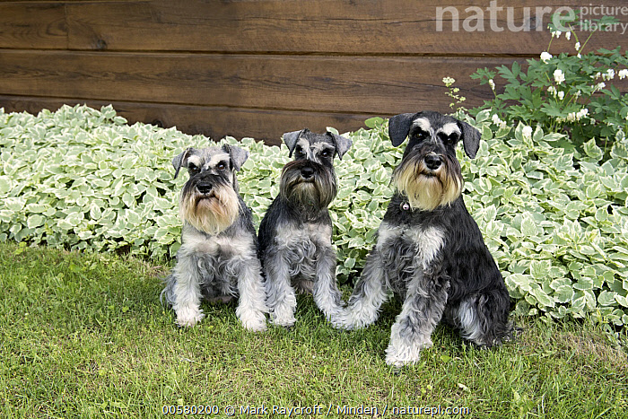 Miniature Schnauzer (Canis familiaris) trio, North America  ,  Adult, Canis familiaris, Color Image, Day, Domestic Dog, Front View, Full Length, Horizontal, Looking at Camera, Miniature Schnauzer, Nobody, North America, Outdoors, Photography, Side View, Three Animals,Miniature Schnauzer,North America  ,  Mark Raycroft