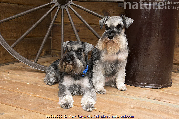 Miniature Schnauzer (Canis familiaris) pair, North America  ,  Adult, Canis familiaris, Color Image, Day, Domestic Dog, Front View, Full Length, Horizontal, Miniature Schnauzer, Nobody, North America, Outdoors, Photography, Two Animals,Miniature Schnauzer,North America  ,  Mark Raycroft
