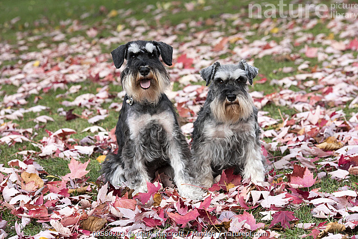 Miniature Schnauzer (Canis familiaris) pair, North America  ,  Adult, Canis familiaris, Color Image, Day, Domestic Dog, Front View, Full Length, Horizontal, Looking at Camera, Miniature Schnauzer, Nobody, North America, Outdoors, Photography, Two Animals,Miniature Schnauzer,North America  ,  Mark Raycroft