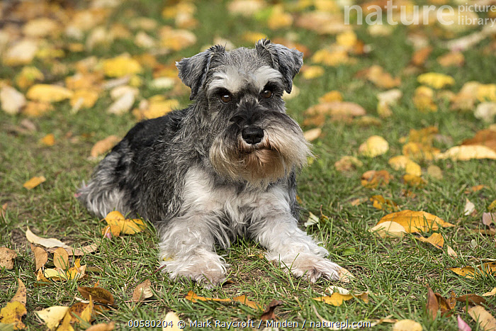 Miniature Schnauzer (Canis familiaris), North America, Adult, Canis familiaris, Color Image, Day, Domestic Dog, Front View, Full Length, Horizontal, Looking at Camera, Miniature Schnauzer, Nobody, North America, One Animal, Outdoors, Photography,Miniature Schnauzer,North America, Mark Raycroft