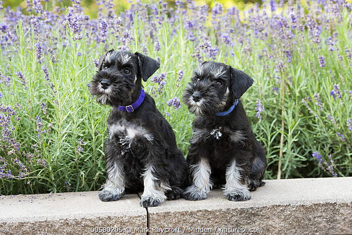Miniature Schnauzer (Canis familiaris) puppies, North America  ,  Baby, Canis familiaris, Color Image, Day, Domestic Dog, Front View, Full Length, Horizontal, Miniature Schnauzer, Nobody, North America, Outdoors, Photography, Puppy, Two Animals,Miniature Schnauzer,North America  ,  Mark Raycroft