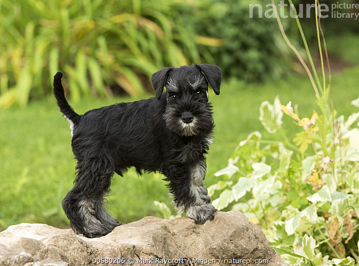 Miniature Schnauzer (Canis familiaris) puppy, North America  ,  Baby, Canis familiaris, Color Image, Day, Domestic Dog, Full Length, Horizontal, Looking at Camera, Miniature Schnauzer, Nobody, North America, One Animal, Outdoors, Photography, Puppy, Side View,Miniature Schnauzer,North America  ,  Mark Raycroft