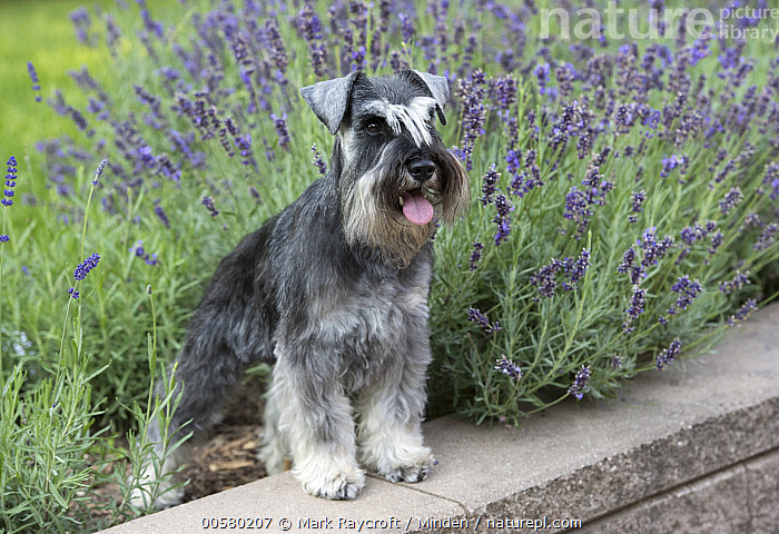 Miniature Schnauzer (Canis familiaris), North America  ,  Adult, Canis familiaris, Color Image, Day, Domestic Dog, Full Length, Horizontal, Miniature Schnauzer, Nobody, North America, One Animal, Outdoors, Photography, Side View,Miniature Schnauzer,North America  ,  Mark Raycroft