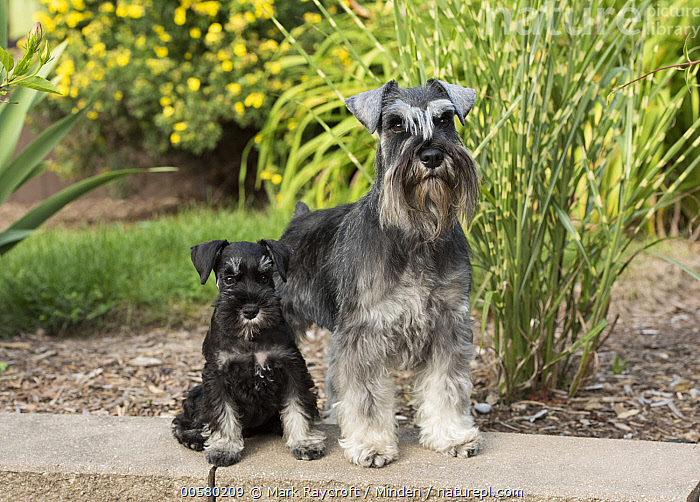 Miniature Schnauzer (Canis familiaris) parent with puppy, North America, Adult, Baby, Canis familiaris, Color Image, Day, Domestic Dog, Front View, Full Length, Horizontal, Looking at Camera, Miniature Schnauzer, Nobody, North America, Outdoors, Parent, Photography, Puppy, Two Animals,Miniature Schnauzer,North America, Mark Raycroft