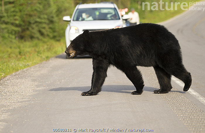 Black Bear (Ursus americanus) crossing road, North America  ,  Adult, Black Bear, Car, Color Image, Crossing, Day, Encroaching, Environmental Issue, Full Length, Habitat Loss, Horizontal, North America, One Animal, Outdoors, Photography, Road, Side View, Two People, Ursus americanus, Wildlife,Black Bear,North America  ,  Mark Raycroft