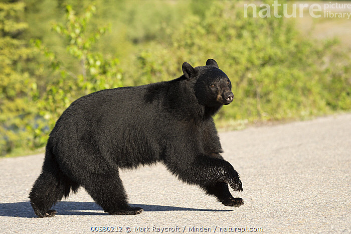 Black Bear (Ursus americanus) crossing road, North America  ,  Adult, Black Bear, Color Image, Crossing, Day, Encroaching, Environmental Issue, Full Length, Habitat Loss, Horizontal, Nobody, North America, One Animal, Outdoors, Photography, Road, Running, Side View, Ursus americanus, Wildlife,Black Bear,North America  ,  Mark Raycroft