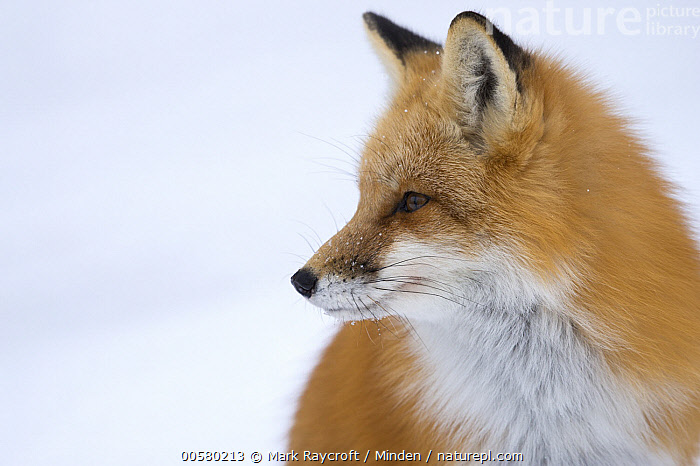 Red Fox (Vulpes vulpes) in winter, North America, Adult, Close Up, Color Image, Day, Head and Shoulders, Horizontal, Nobody, North America, One Animal, Outdoors, Photography, Portrait, Profile, Red Fox, Side View, Snow, Vulpes vulpes, Wildlife, Winter,Red Fox,North America, Mark Raycroft