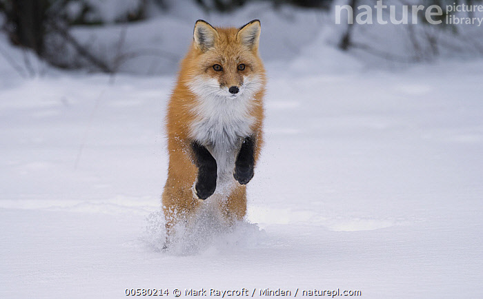 Red Fox (Vulpes vulpes) hunting in winter, North America, Adult, Color Image, Day, Foraging, Front View, Full Length, Horizontal, Hunting, Jumping, Nobody, North America, One Animal, Outdoors, Photography, Red Fox, Snow, Vulpes vulpes, Wildlife, Winter,Red Fox,North America, Mark Raycroft