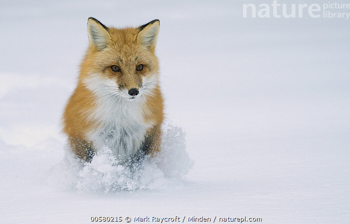 Red Fox (Vulpes vulpes) hunting in winter, North America, Adult, Color Image, Day, Front View, Full Length, Horizontal, Nobody, North America, One Animal, Outdoors, Photography, Red Fox, Running, Snow, Vulpes vulpes, Wildlife, Winter,Red Fox,North America, Mark Raycroft