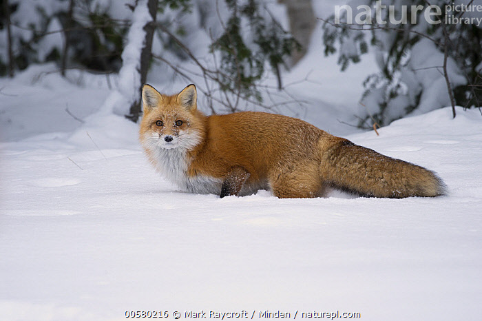 Red Fox (Vulpes vulpes) in winter, North America, Adult, Color Image, Day, Full Length, Horizontal, Looking at Camera, Nobody, North America, One Animal, Outdoors, Photography, Red Fox, Side View, Snow, Vulpes vulpes, Wildlife, Winter,Red Fox,North America, Mark Raycroft