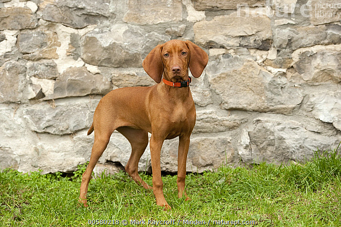 Vizsla (Canis familiaris) puppy, North America, Baby, Canis familiaris, Color Image, Day, Domestic Dog, Full Length, Horizontal, Looking at Camera, Nobody, North America, One Animal, Outdoors, Photography, Puppy, Side View, Vizsla,Vizsla,North America, Mark Raycroft