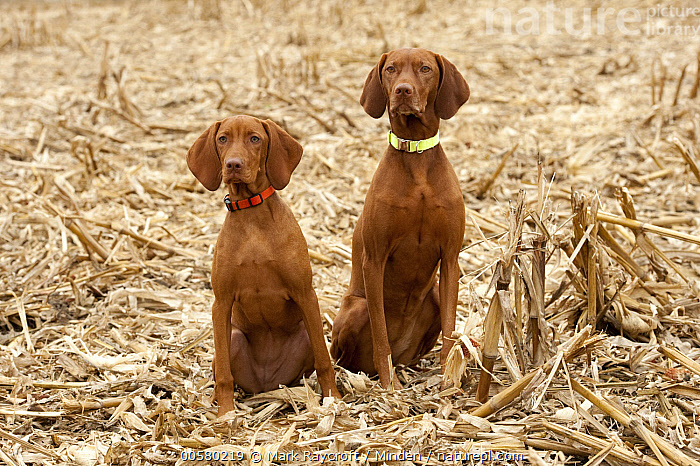 Vizsla (Canis familiaris) mother with puppy, North America  ,  Adult, Baby, Canis familiaris, Color Image, Day, Domestic Dog, Female, Front View, Full Length, Horizontal, Mother, Nobody, North America, Outdoors, Parent, Photography, Puppy, Two Animals, Vizsla,Vizsla,North America  ,  Mark Raycroft