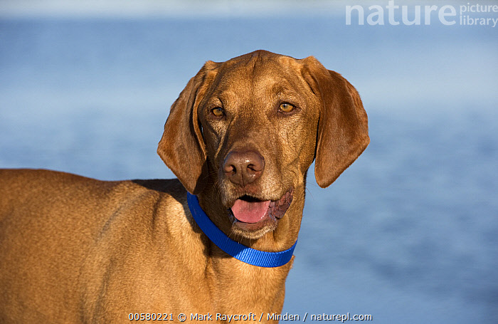 Vizsla (Canis familiaris), North America  ,  Adult, Canis familiaris, Close Up, Color Image, Day, Domestic Dog, Horizontal, Nobody, North America, One Animal, Open Mouth, Outdoors, Photography, Side View, Vizsla, Waist Up,Vizsla,North America  ,  Mark Raycroft