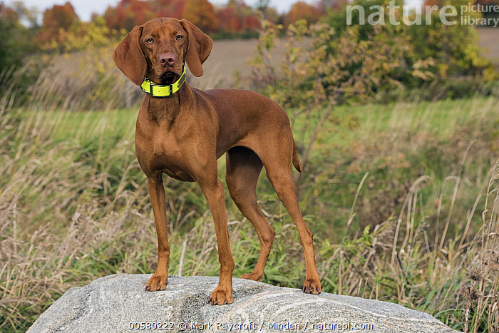 Vizsla (Canis familiaris), North America, Adult, Canis familiaris, Color Image, Day, Domestic Dog, Full Length, Horizontal, Looking at Camera, Nobody, North America, One Animal, Outdoors, Photography, Side View, Vizsla,Vizsla,North America, Mark Raycroft