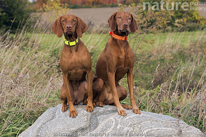 Vizsla (Canis familiaris) females, North America  ,  Adult, Canis familiaris, Color Image, Day, Domestic Dog, Female, Front View, Full Length, Horizontal, Looking at Camera, Nobody, North America, Outdoors, Photography, Two Animals, Vizsla,Vizsla,North America  ,  Mark Raycroft