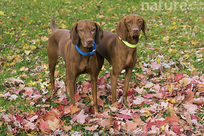 Vizsla (Canis familiaris) females, North America  ,  Adult, Canis familiaris, Color Image, Day, Domestic Dog, Female, Front View, Full Length, Horizontal, Looking at Camera, Nobody, North America, Outdoors, Photography, Side View, Two Animals, Vizsla,Vizsla,North America  ,  Mark Raycroft