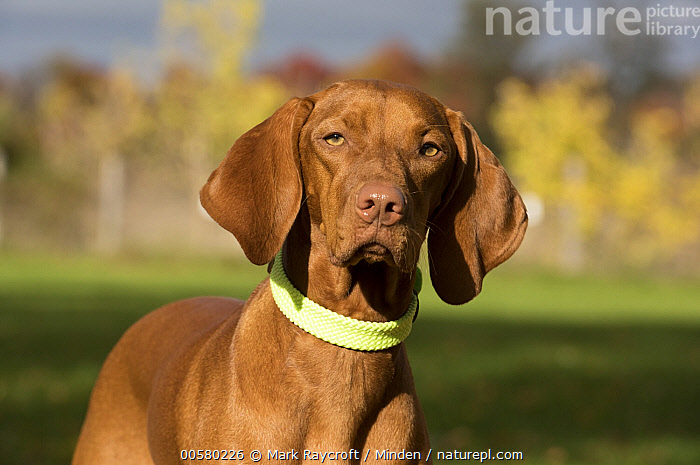 Vizsla (Canis familiaris), North America  ,  Adult, Canis familiaris, Close Up, Color Image, Day, Domestic Dog, Front View, Horizontal, Looking at Camera, Nobody, North America, One Animal, Outdoors, Photography, Vizsla, Waist Up,Vizsla,North America  ,  Mark Raycroft