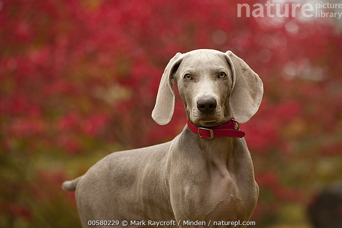 Weimaraner (Canis familiaris) puppy, North America, Baby, Canis familiaris, Color Image, Day, Domestic Dog, Horizontal, Looking at Camera, Nobody, North America, One Animal, Outdoors, Photography, Puppy, Side View, Waist Up, Weimaraner,Weimaraner,North America, Mark Raycroft