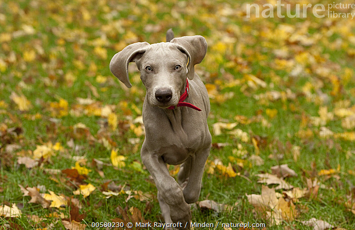 Weimaraner (Canis familiaris) puppy running, North America  ,  Approaching, Baby, Canis familiaris, Color Image, Day, Domestic Dog, Front View, Horizontal, Looking at Camera, Nobody, North America, One Animal, Outdoors, Photography, Puppy, Running, Three Quarter Length, Weimaraner,Weimaraner,North America  ,  Mark Raycroft