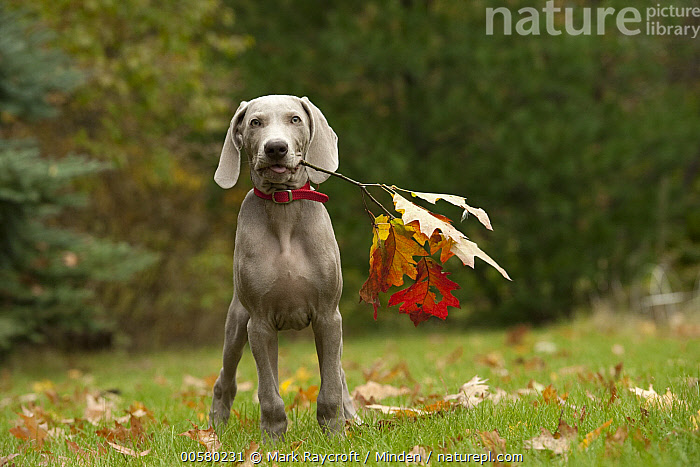 Weimaraner (Canis familiaris) puppy playing with stick, North America  ,  Baby, Canis familiaris, Carrying, Color Image, Day, Domestic Dog, Fetching, Front View, Full Length, Horizontal, Looking at Camera, Nobody, North America, One Animal, Outdoors, Photography, Playing, Puppy, Stick, Weimaraner,Weimaraner,North America  ,  Mark Raycroft