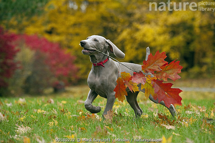 Weimaraner (Canis familiaris) puppy playing with stick, North America  ,  Baby, Canis familiaris, Carrying, Color Image, Day, Domestic Dog, Fetching, Full Length, Horizontal, Nobody, North America, One Animal, Outdoors, Photography, Playing, Puppy, Running, Side View, Stick, Weimaraner,Weimaraner,North America  ,  Mark Raycroft