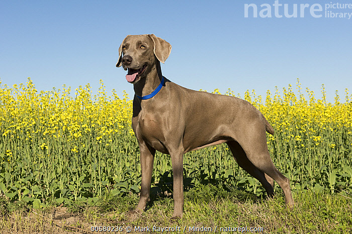 Weimaraner (Canis familiaris), North America  ,  Adult, Canis familiaris, Color Image, Day, Domestic Dog, Full Length, Horizontal, Nobody, North America, One Animal, Outdoors, Photography, Side View, Weimaraner,Weimaraner,North America  ,  Mark Raycroft