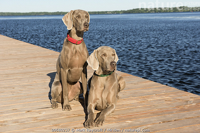 Weimaraner (Canis familiaris) male and female, North America, Adult, Canis familiaris, Color Image, Day, Domestic Dog, Female, Front View, Full Length, Horizontal, Male, Nobody, North America, Outdoors, Photography, Two Animals, Weimaraner,Weimaraner,North America, Mark Raycroft