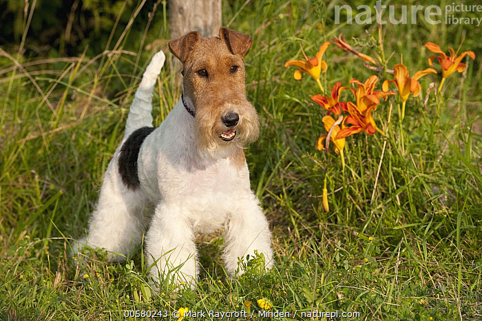 Wire-haired Fox Terrier (Canis familiaris), North America, Adult, Canis familiaris, Color Image, Day, Domestic Dog, Front View, Full Length, Horizontal, Nobody, North America, One Animal, Outdoors, Photography, Wire-haired Fox Terrier,Wire-haired Fox Terrier,North America, Mark Raycroft