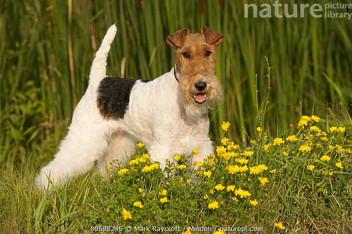 Wire-haired Fox Terrier (Canis familiaris), North America  ,  Adult, Canis familiaris, Color Image, Day, Domestic Dog, Full Length, Horizontal, Looking at Camera, Nobody, North America, One Animal, Outdoors, Photography, Side View, Wire-haired Fox Terrier,Wire-haired Fox Terrier,North America  ,  Mark Raycroft