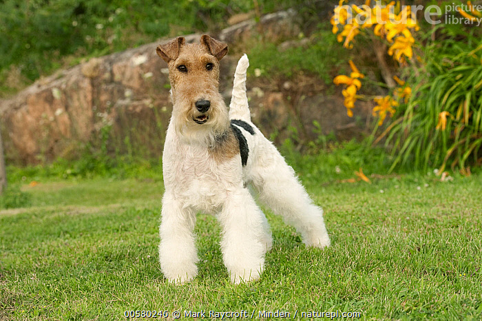 Wire-haired Fox Terrier (Canis familiaris), North America  ,  Adult, Canis familiaris, Color Image, Day, Domestic Dog, Front View, Full Length, Horizontal, Looking at Camera, Nobody, North America, One Animal, Outdoors, Photography, Wire-haired Fox Terrier,Wire-haired Fox Terrier,North America  ,  Mark Raycroft