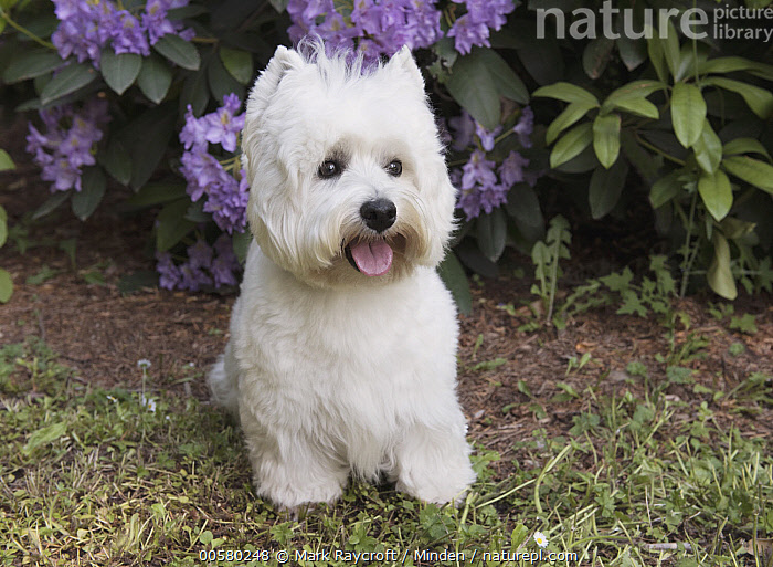 West Highland White Terrier (Canis familiaris), North America  ,  Adult, Canis familiaris, Color Image, Day, Domestic Dog, Front View, Full Length, Horizontal, Nobody, North America, One Animal, Open Mouth, Outdoors, Photography, West Highland White Terrier, White,West Highland White Terrier,North America  ,  Mark Raycroft