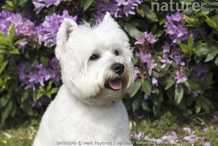 West Highland White Terrier (Canis familiaris), North America  ,  Adult, Canis familiaris, Color Image, Day, Domestic Dog, Front View, Head and Shoulders, Horizontal, Nobody, North America, One Animal, Open Mouth, Outdoors, Photography, Portrait, West Highland White Terrier, White,West Highland White Terrier,North America  ,  Mark Raycroft