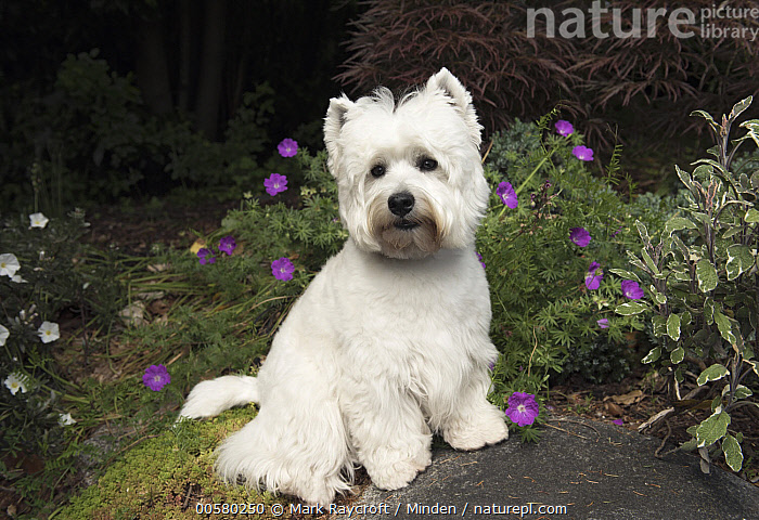 West Highland White Terrier (Canis familiaris), North America  ,  Adult, Canis familiaris, Color Image, Day, Domestic Dog, Full Length, Horizontal, Looking at Camera, Nobody, North America, One Animal, Outdoors, Photography, Side View, West Highland White Terrier, White,West Highland White Terrier,North America  ,  Mark Raycroft