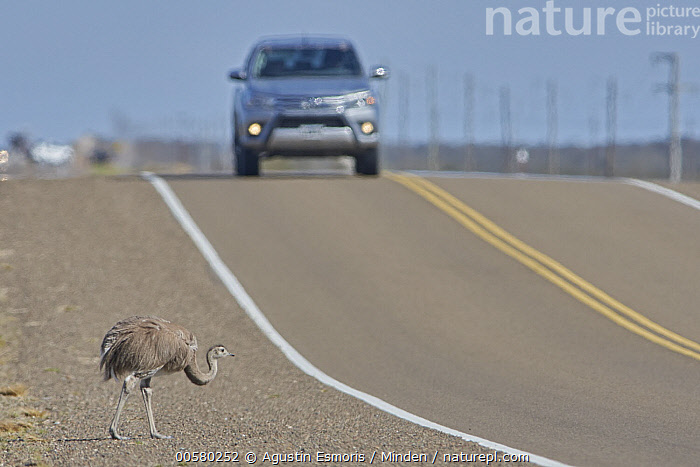 Lesser Rhea (Rhea pennata) crossing road, Peninsula Valdez, Argentina  ,  Adult, Argentina, Car, Color Image, Crossing, Day, Encroaching, Environmental Issue, Full Length, Habitat Loss, Horizontal, Lesser Rhea, Nobody, One Animal, Outdoors, Peninsula Valdez, Photography, Rhea pennata, Road, Side View, Wildlife,Lesser Rhea,Argentina  ,  Agustin Esmoris