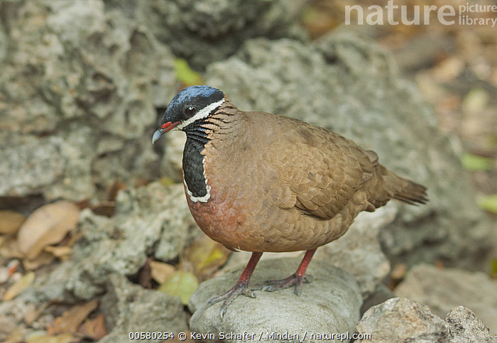 Blue-headed Quail-Dove (Starnoenas cyanocephala), Zapata Peninsula, Cuba  ,  Adult, Blue-headed Quail-Dove, Color Image, Cuba, Day, Endangered Species, Endemic, Full Length, Horizontal, Nobody, One Animal, Outdoors, Photography, Side View, Starnoenas cyanocephala, Wildlife, Zapata Peninsula,Blue-headed Quail-Dove,Cuba  ,  Kevin Schafer
