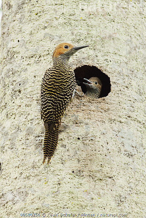 Fernandina's Flicker (Colaptes fernandinae) parent at nest cavity with chick, Zapata Peninsula, Cuba, Adult, Baby, Chick, Colaptes fernandinae, Color Image, Cuba, Day, Endemic, Fernandina's Flicker, Front View, Full Length, Head and Shoulders, Low Angle View, Nest Cavity, Nobody, Outdoors, Parent, Photography, Rear View, Threatened Species, Two Animals, Vertical, Vulnerable Species, Wildlife, Zapata Peninsula,Fernandina's Flicker,Cuba, Kevin Schafer