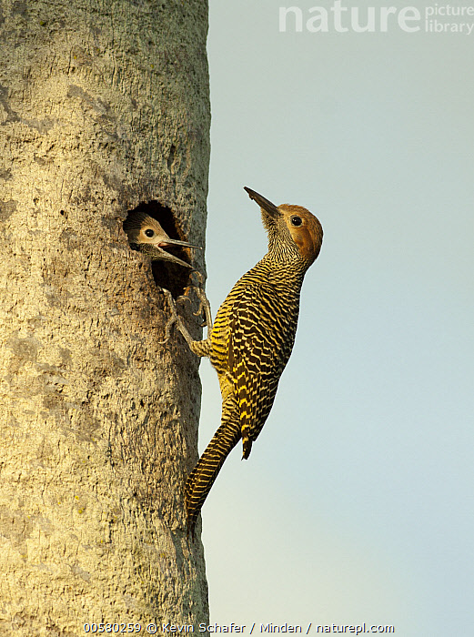 Fernandina's Flicker (Colaptes fernandinae) parent at nest cavity with begging chick, Zapata Peninsula, Cuba  ,  Adult, Baby, Begging, Chick, Colaptes fernandinae, Color Image, Cuba, Day, Endemic, Fernandina's Flicker, Full Length, Head and Shoulders, Nest Cavity, Nobody, Open Mouth, Outdoors, Parent, Photography, Side View, Threatened Species, Two Animals, Vertical, Vulnerable Species, Wildlife, Zapata Peninsula,Fernandina's Flicker,Cuba  ,  Kevin Schafer