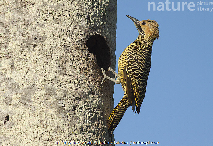 Fernandina's Flicker (Colaptes fernandinae) at nest cavity, Zapata Peninsula, Cuba  ,  Adult, Colaptes fernandinae, Color Image, Cuba, Day, Endemic, Fernandina's Flicker, Full Length, Horizontal, Nest Cavity, Nobody, One Animal, Outdoors, Photography, Side View, Threatened Species, Vulnerable Species, Wildlife, Zapata Peninsula,Fernandina's Flicker,Cuba  ,  Kevin Schafer