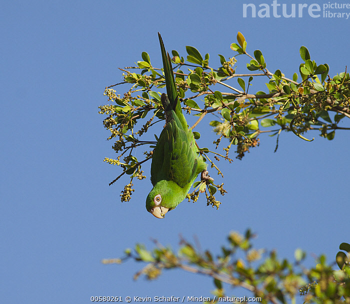 Cuban Parakeet (Aratinga euops) feeding, Zapata Peninsula, Cuba  ,  Adult, Aratinga euops, Color Image, Cuba, Cuban Parakeet, Day, Endemic, Feeding, Full Length, Hanging, Horizontal, Low Angle View, Nobody, One Animal, Outdoors, Parrot, Photography, Side View, Threatened Species, Upside Down, Vulnerable Species, Wildlife, Zapata Peninsula,Cuban Parakeet,Cuba  ,  Kevin Schafer