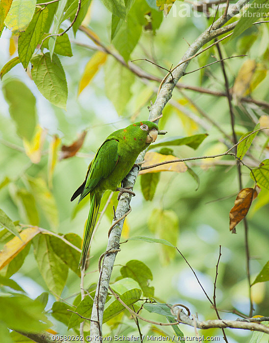 Cuban Parakeet (Aratinga euops), Zapata Peninsula, Cuba  ,  Adult, Aratinga euops, Color Image, Cuba, Cuban Parakeet, Day, Endemic, Full Length, Nobody, One Animal, Outdoors, Parrot, Photography, Side View, Threatened Species, Vertical, Vulnerable Species, Wildlife, Zapata Peninsula,Cuban Parakeet,Cuba  ,  Kevin Schafer