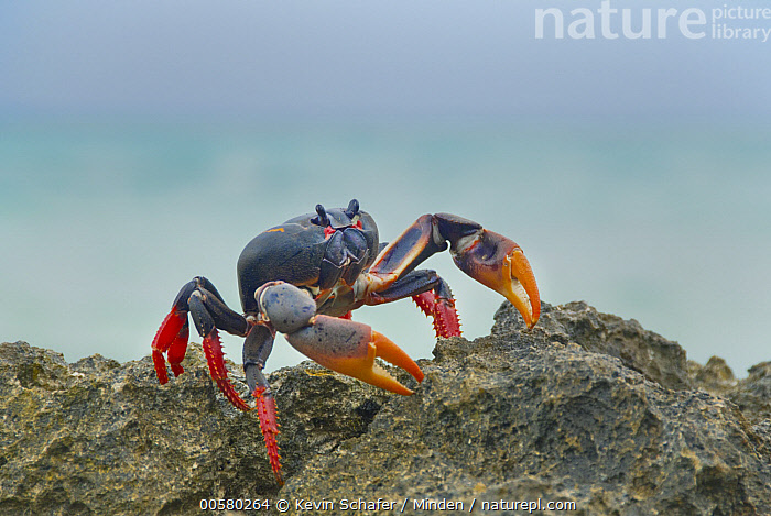 Purple Land Crab (Gecarcinus ruricola), Zapata Peninsula, Cuba  ,  Adult, Color Image, Cuba, Day, Endemic, Full Length, Gecarcinus ruricola, Horizontal, Nobody, One Animal, Outdoors, Photography, Purple Land Crab, Side View, Wildlife, Zapata Peninsula,Purple Land Crab,Cuba  ,  Kevin Schafer
