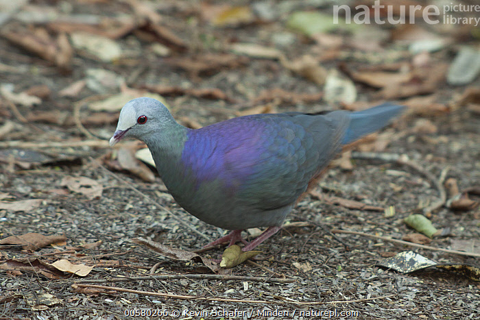 Grey-headed Quail-Dove (Geotrygon caniceps), Zapata Peninsula, Cuba, Adult, Color Image, Cuba, Day, Endemic, Full Length, Geotrygon caniceps, Grey-headed Quail-Dove, Horizontal, Nobody, One Animal, Outdoors, Photography, Side View, Threatened Species, Vulnerable Species, Wildlife, Zapata Peninsula,Grey-headed Quail-Dove,Cuba, Kevin Schafer